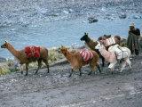 Llamas and Their Handler Walking and Carrying Goods, Puno, Peru Lámina fotográfica por Eric Wheater