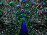 Peacock in Full Display, Quito, Pichincha, Ecuador, Fotografisk tryk af Richard I'Anson