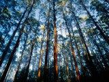 Mountain Ash Forest in Black Spur, Australia Lámina fotográfica por Richard I'Anson