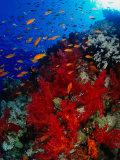 Banc d'anthias près d'un corail mou rouge sur le récif d'Abu Nuhas dans la mer Rouge, Suez, Egypte Reproduction photographique par Mark Webster