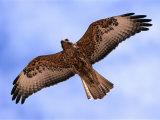 Immature Galapagos Hawk in Flight, Galapagos, Ecuador Stampa fotografica di Ralph Lee Hopkins