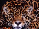Portrait of a Jaguar, Brazil Fotografisk tryk af Mark Newman