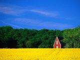Rape Field, Red House and Forest, Kullaberg Skane, Kullaberg, Skane, Sweden Fotografie-Druck von Anders Blomqvist