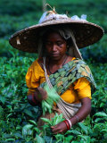 Tea Plucker Picks Leaves from Bush to Make Assam Tea, Guwahati, Assam, India Fotografisk tryk af Greg Elms