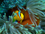 Red Sea Anemonefish(Amphiprion Bicinctus), Red Sea and Gulf of Aden, Egypt Fotografie-Druck von Casey Mahaney