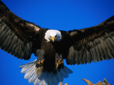 Bald Eagle (Haliaeetus Leucocephalus), USA 写真プリント : マーク・ニューマン