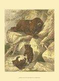 Small Brown Bear Print by Friedrich Specht
