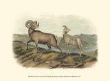 Rocky Mountain Sheep Prints by John James Audubon