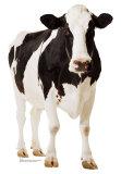 Koe, lichaam van koe met Engelse omschrijving van eetbare gedeelten Kartonnen poppen