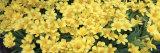 Petunias in a Garden, Botanical Garden of Buffalo and Erie County, Buffalo, New York, USA Fotoprint