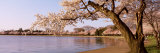 Cherry Blossom Tree along a Lake, Potomac Park, Washington D.C., USA Fotografie-Druck von  Panoramic Images