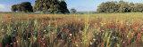 Wild Flowers in a Field, Andalucia, Spain Fotografie-Druck