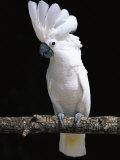 White or Umbrella Cockatoo Reproduction photographique par Lynn M. Stone