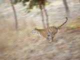 Bengal Tiger Running Through Grass, Bandhavgarh National Park India Photographic Print by E.a. Kuttapan