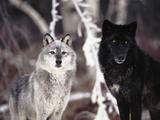 Grey Wolves Showing Fur Colour Variation, (Canis Lupus) Fotoprint van Tom Vezo