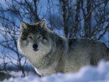 Grey Wolf Male in Snow, Norway Fotoprint van Bernard Walton