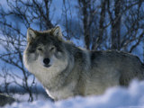 Grey Wolf Male in Snow, Norway Photographic Print by Bernard Walton