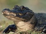 American Alligator Portrait, Florida, USA 写真プリント : リン M. ストーン