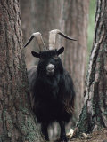 Feral Goat Male in Pinewood (Capra Hircus), Scotland Fotografisk tryk af Niall Benvie