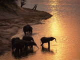 African Elephants Drinking in Chobe River at Sunset, Botswana, Southern Africa Photographic Print by Tony Heald