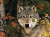 Grey Wolf Portrait, USA Fotografisk trykk av Lynn M. Stone