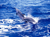 Leaping Clymene Dolphins, Gulf of Mexico, Atlantic Ocean Premium fototryk af Todd Pusser