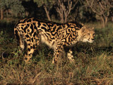 King Cheetah (Acinonyx Jubatus), De Wildt Game Park, South Africa Photographic Print by Tony Heald