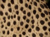 Cheetah Fur Detail Fotografisk tryk af Tony Heald