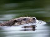 European River Otter Swimming, Otterpark Aqualutra, Leeuwarden, Netherlands Fotografisk tryk af Niall Benvie