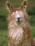 Alpaca Portrait, Altiplano, Bolivia Fotografie-Druck von Pete Oxford