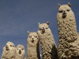 Alpacas, Andes, Ecuador Fotografie-Druck von Pete Oxford