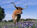 Texas Longhorn Cow, in Lupin Meadow, Texas, USA Stampa fotografica di Lynn M. Stone