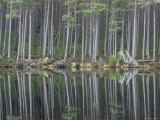 Pine Forest Reflections on Flat Calm Lochan, Cairngorms National Park, Scotland Photographic Print by Pete Cairns