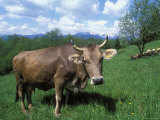 Domestic Cow, Grazing in Unimproved Pasture Tatra Mountains, Slovakia Photographic Print by Pete Cairns