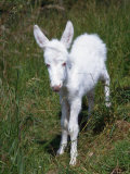 Domestic Donkey Foal, Albino, Europe Photographic Print by  Reinhard