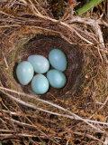 Hedge Sparrow / Dunnock, Nest with Five Eggs, UK Fotografisk trykk av Jane Burton