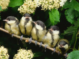 Great Tits, Five Fledgelings Perched in Row (Parus Major) Europe Reproduction photographique par  Reinhard