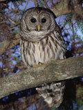 Barred Owl in Tree, Corkscrew Swamp Sanctuary Florida USA Fotoprint van Rolf Nussbaumer