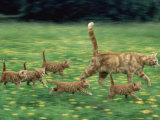 Ginger Domestic Cat Running with Litter of Five Kittens Reproduction photographique par Jane Burton