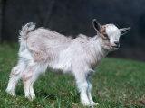 Pygmy Domestic Goat Kid Fotografie-Druck von  Reinhard