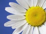 Marguerite / Ox Eye Daisy (Leucanthemum Vulgare) UK Photographic Print by Pete Cairns