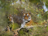 Female Tiger, with Four-Month-Old Cub, Bandhavgarh National Park, India Photographic Print by Tony Heald