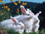 Domestic Angora Rabbits Photographic Print by  Reinhard