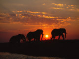 African Elephant Bulls Silhouetted at Sunset, Chobe National Park, Botswana Fotografisk trykk av Richard Du Toit