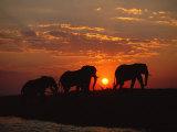 African Elephant Bulls Silhouetted at Sunset, Chobe National Park, Botswana Photographic Print by Richard Du Toit