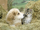 Domestic Kitten (Felis Catus) with Puppy (Canis Familiaris) in Hay Reproduction photographique par Jane Burton