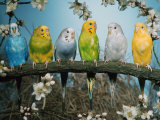 Six Budgerigars (Melopsittacus Undulatus) Reproduction photographique par  Reinhard