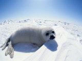 Harp Seal Pup on Ice, Magdalen Is, Canada, Atlantic Stampa fotografica di Jurgen Freund
