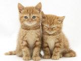 Two Ginger Domestic Kittens (Felis Catus) Reproduction photographique par Jane Burton