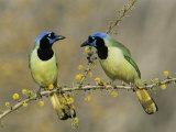 Green Jay Pair, Texas, USA Reproduction photographique par Rolf Nussbaumer